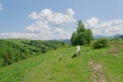 Paisagem rural com cavalos em um pasto no vale da montanha Paisagem com a montanha verde das árvores Fotografia de Stock
