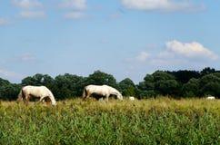 Paisagem rural com os cavalos que pastam em um prado imagem de stock royalty free