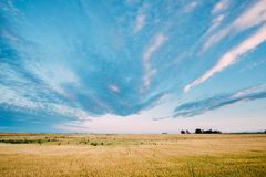 Paisagem rural do campo de trigo amarelo em Sunny Sky Background azul Fotos de Stock Royalty Free