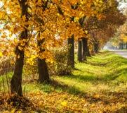 Paisagem rural do outono com árvores do ouro em seguido fotografia de stock royalty free