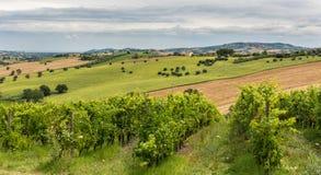 Paisagem rural do verão com campos do girassol, vinhedos e campos verde-oliva perto de Porto Recanati na região de Marche, Itália imagem de stock