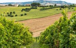 Paisagem rural do verão com vinhedos e campos verde-oliva perto de Porto Recanati na região de Marche, Itália foto de stock
