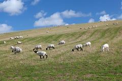 Paisagem rural dos carneiros que pastam em um campo verde Fotografia de Stock