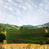Paisagem rural surpreendente com vinhedo verde Imagens de Stock Royalty Free