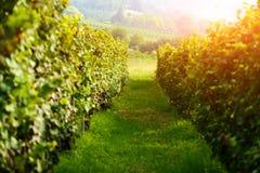 Paisagem rural surpreendente com vinhedo verde Fotografia de Stock