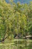 A paisagem selvagem de árvores de goma cresce em uma lagoa do rio em Queensland Fotos de Stock Royalty Free