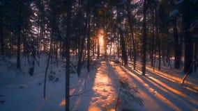 Paisagem selvagem Forest Park da natureza do inverno bonito no por do sol maravilhoso que segue o tiro vídeos de arquivo