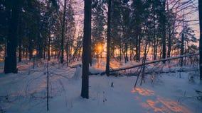 Paisagem selvagem Forest Park da natureza do inverno bonito no por do sol maravilhoso que segue o tiro video estoque