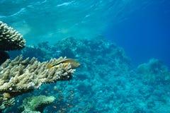 Paisagem subaquática da vida no Mar Vermelho com Hawkfish Freckled imagem de stock