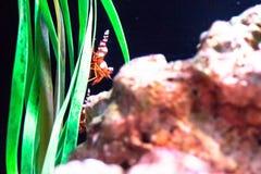 Paisagem subaquática do mundo, recife de corais colorido com caranguejo de eremita fotos de stock royalty free