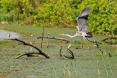 Paisagem típica na área do pântano do bara imperial de Carska da lagoa, do grande habitat natural para pássaros e dos outros anim fotos de stock royalty free