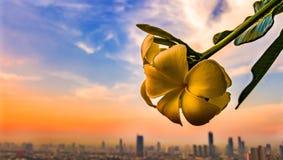Paisagem Tailândia de Banguecoque da flor do Plumeria Fotos de Stock