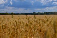 Paisagem ucraniana do verão com campos de trigo e o céu azul imagem de stock royalty free