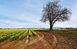 Paisagem vívida do narciso amarelo com montanhas e a árvore estéril foto de stock royalty free