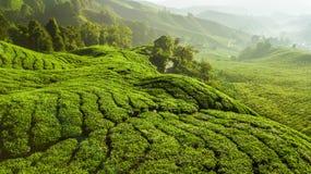 Paisagem verde bonita da plantação de chá em Cameron Highlands imagens de stock