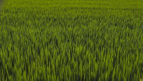 Paisagem verde da natureza com campo do arroz 'paddy' fotografia de stock