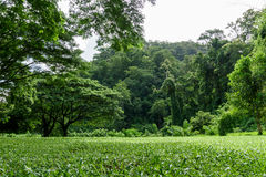 Paisagem verde do gramado com árvore grande Imagens de Stock Royalty Free