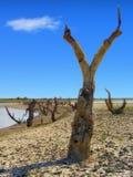 A paisagem vertical cênico ensolarada dramática dos mortos secou árvores desencapadas pelo banco de um rio na região selvagem com imagens de stock royalty free