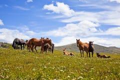 Paisagens de montanhas de Altai com um rebanho dos cavalos Foto de Stock