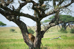 Paisaje africano con los leones en el árbol Fotos de archivo libres de regalías