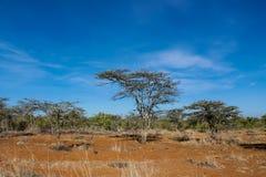 Paisaje africano de los árboles del acacia en arbusto de la sabana Fotos de archivo