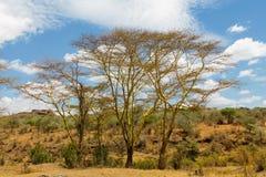 Paisaje africano de los árboles del acacia en arbusto de la sabana Fotos de archivo libres de regalías