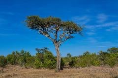 Paisaje africano de los árboles del acacia en arbusto de la sabana Imágenes de archivo libres de regalías