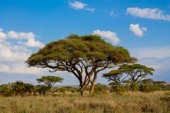 Paisaje africano de los árboles del acacia en arbusto de la sabana Fotografía de archivo libre de regalías