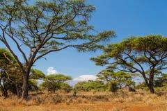 Paisaje africano de los árboles del acacia en arbusto de la sabana Imagen de archivo