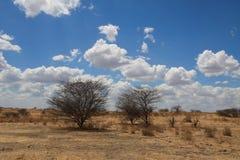 Paisaje africano. Dos arbustos en sabana imágenes de archivo libres de regalías