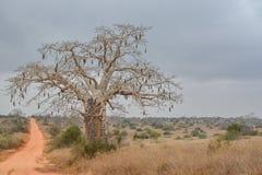 Paisaje africano en Angola, baobab con las frutas foto de archivo