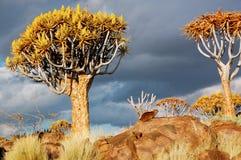 Paisaje africano, árboles de la aljaba Fotos de archivo