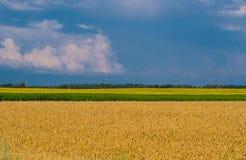 Paisaje agrícola Campo del trigo de oro con la línea de girasoles debajo del cielo tempestuoso con las nubes foto de archivo libre de regalías
