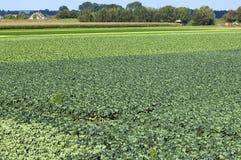Paisaje agrícola con el campo de la col y de maíz Fotos de archivo libres de regalías