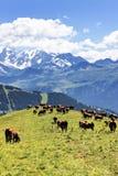 Paisaje alpestre y vacas foto de archivo libre de regalías