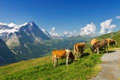 Paisaje alpino idílico hermoso con las vacas, las montañas de las montañas y el campo en verano Imagen de archivo