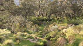 Paisaje amplio del canguro - fauna australiana metrajes