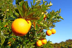 Paisaje anaranjado de las arboledas de la Florida Imágenes de archivo libres de regalías