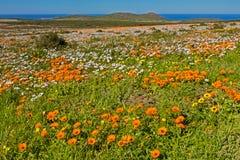 Paisaje anaranjado de las margaritas de Namaqua en parque nacional de la costa oeste Imagen de archivo libre de regalías