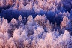 Paisaje azul del invierno, bosque del árbol de abedul con la nieve, hielo, escarcha Imagen de archivo libre de regalías