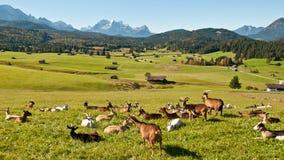 Paisaje bávaro con las cabras Fotos de archivo libres de regalías