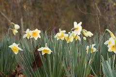 Paisaje bicolor amarillo de los narcisos Imagen de archivo libre de regalías