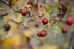 paisaje borroso del fondo con las hojas del amarillo y las bayas rojas en otoño Fotos de archivo libres de regalías