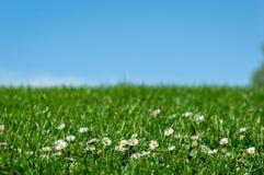 Paisaje brillante de la primavera con los camomiles hermosos de las flores salvajes en hierba verde con un fondo del cielo azul imágenes de archivo libres de regalías