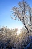 Paisaje brillante del invierno con los árboles en el bosque en la salida del sol Imágenes de archivo libres de regalías