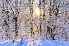 Paisaje brillante del invierno con los árboles en el bosque en la salida del sol Imagen de archivo