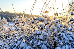 Paisaje brillante del invierno con los árboles en el bosque en la salida del sol Fotos de archivo libres de regalías
