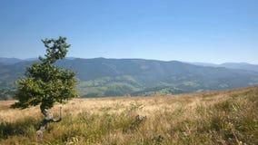 Paisaje cárpato hermoso con un árbol al borde de la montaña almacen de metraje de vídeo