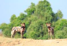 Paisaje colorido de dos perros de caza africanos que se oponen a un cielo vibrante azul y a arbustos verdes enormes en Luangwa de imagen de archivo