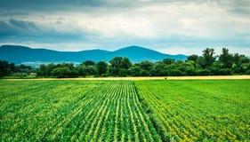 Paisaje colorido del campo del maíz y del girasol fotografía de archivo libre de regalías